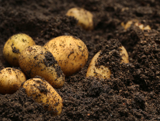 Improving Potato Calcium Uptake and Soil Health with TerraNu Technology